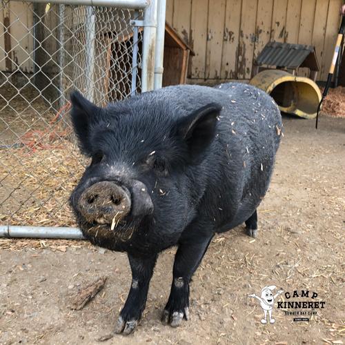 Jax the Pig